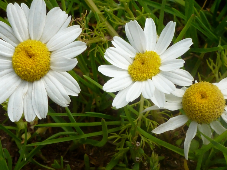 Family of Daisies