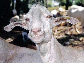 Millstone-lobbing Goats